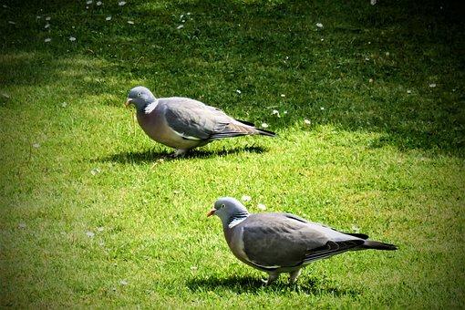 Pigeons, Wood Pigeons, Birds, Garden, Meadow, Rush