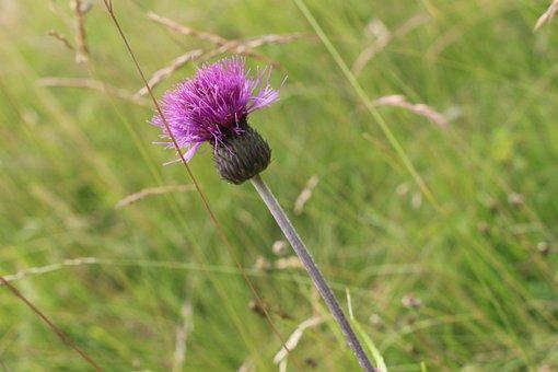 Thistle, Nature, Flower, Summer, Plant