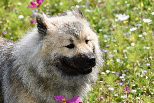 Dog Eurasier, Portrait Dog Profile, Mascot, Standard