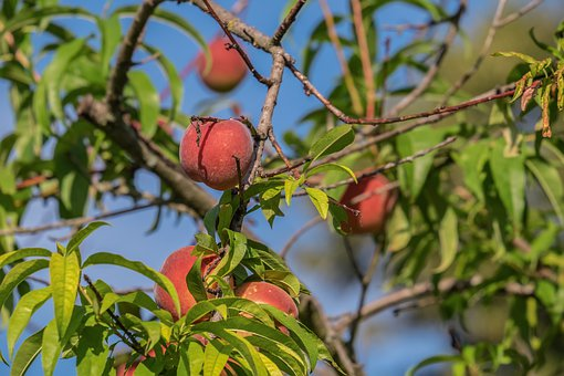 Peach Tree, Peach, Fruit, Bio, Ripe, Red, Juicy, Tree