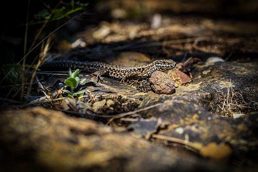 Podarcis Muralis, Common Wall Lizard, Lizard, Small