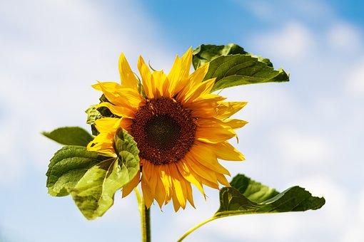 Sunflower, Sky, Summer, Yellow, Flowers, Nature