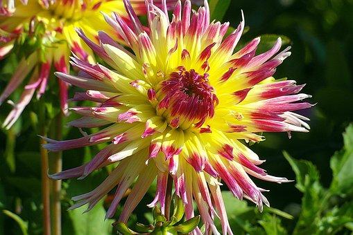 Dalia, Flower, Color, Yellow, The Petals, Sunny, Summer