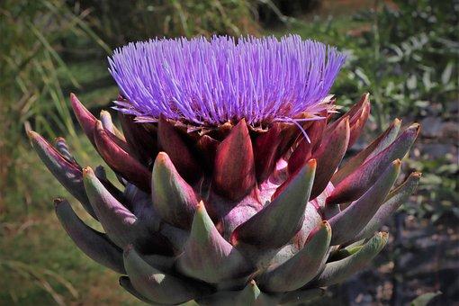 Garden, Plant, Flower, Artichoke, Leaves, Vegetables