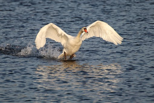 Swan, Flight, Water, Water Bird, Flying, Wing, Landing