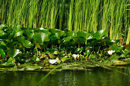 Pond, Water, Reed, Water Lily, Nature, Park, Flower