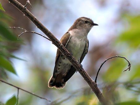 Plaintive Cuckoo, Perched, Wild, Bird, Wildlife