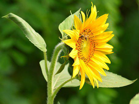 Sunflower, Yellow, Nature, Summer, Almost, Flowers