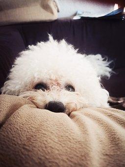 Dog, Sweet, Animals, Pets, Bichon, Bichon Frise, Tired