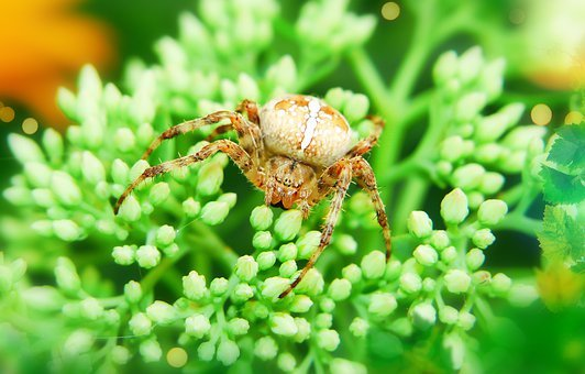 Crusader Garden, Female, Arachnid, Insect, Flower