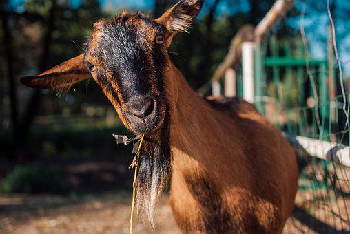 Goat, Animal, Zoo, Cottages-vacation Rentals, Beard
