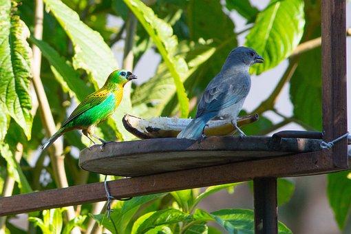 Birds, Nature, Sanhaçu-gray, Tropical Birds