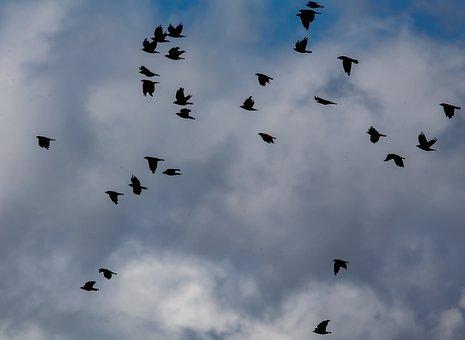 Murder Of Crows, Crows, Crows In Flight, Black, Ravens