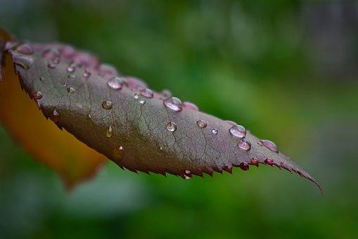 Raindrops, Droplets, Leaf, Red, Bokeh, Depth Of Field
