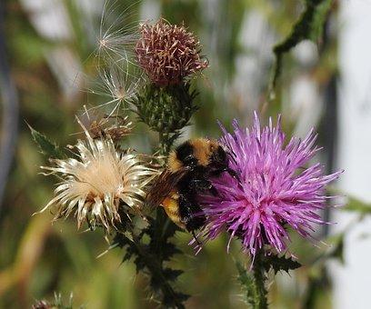 Northern Amber Bumblebee, Bombus Borealis