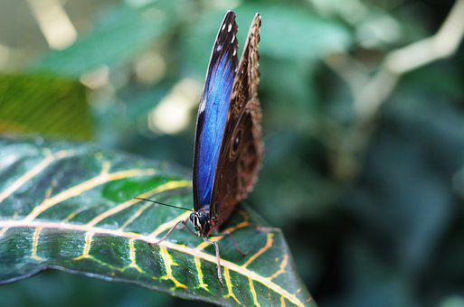 Butterfly, Flies, Fly, Blue, Air, Nature