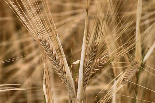 Barley, Cereals, Spike, Mature, Ripe, Cornfield, Field
