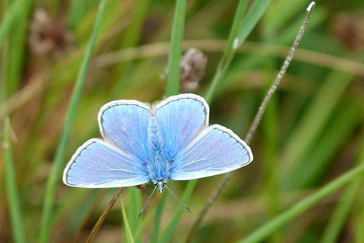 Butterfly, Blue, Insect, Common Blue, Wales, Summer