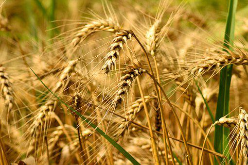 Culture, Agriculture, Grain, Field, Harvest, Nature