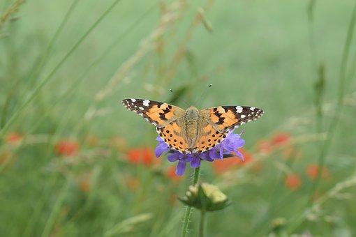 Butterfly, Wing, Cornflower, Edge Of Field, Nature