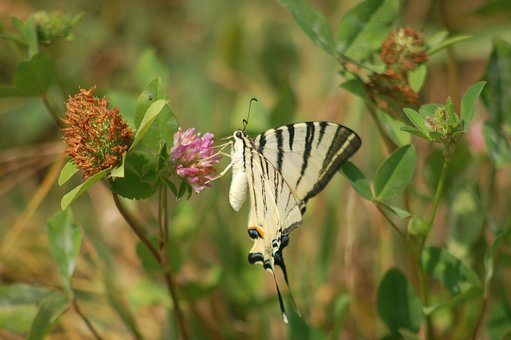 Falfalla, Butterflies, Insect, Insects