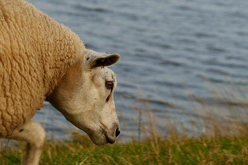 Sheep, Wool, Water, Farm, Cattle, Animal, Animals