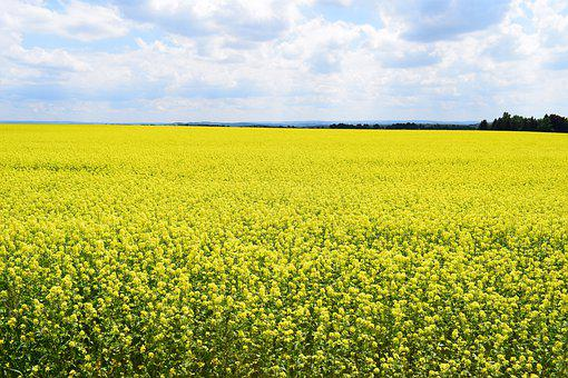 Field Of Rapeseeds, Nature, Summer, Yellow