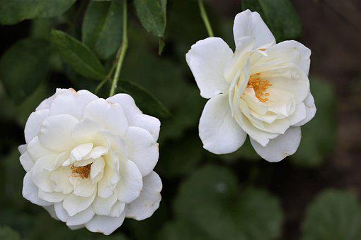 White Roses Snow Queen, Blooming, Flower, Plant, Summer