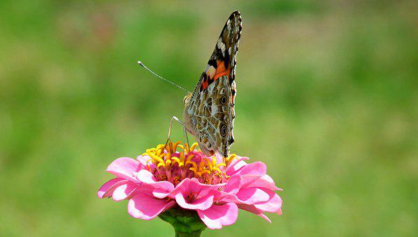 Butterfly, Insect, Flower, Zinnia, Pink, Nature, Macro