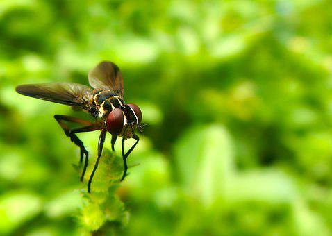 Fly, Díptera, Flying Insect, Wings, Fast, Nature