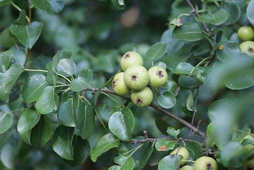 Pear Tree, Wild, Summer, Fruit, Tree, Pears