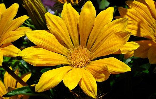 Gazania, Flower, Nature, Summer, Closeup, The Petals