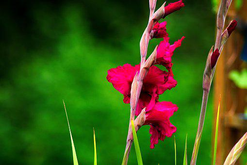 Gladiolus, Gladidus, Butterfly Greenhouse, Sword Flower