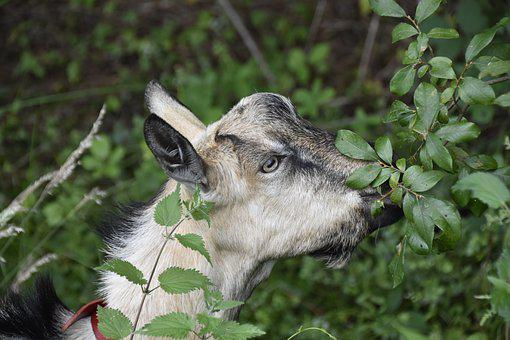 Goat, Goat Pépito, Goat Motte, Herbivore, Nature
