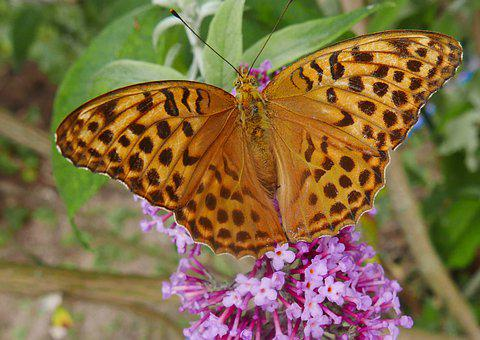 Nature, Butterfly, Great Spangle Fritillary