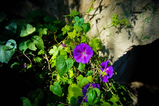 Flowers, Morningglory, Purple, Green, Nature, 花, Forest