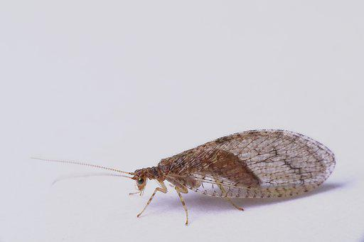 Green Lacewing Brown, Nature, Insect, Neuroptera