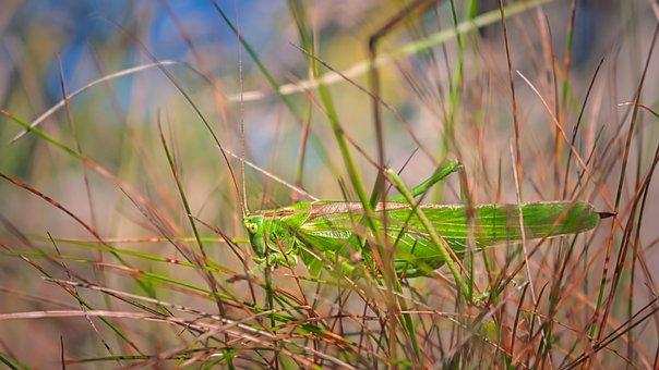 Grasshopper, Insect, Grass, Nature, Green