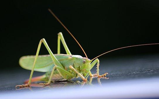 Grasshopper, Mirroring, Insect, Green, Viridissima
