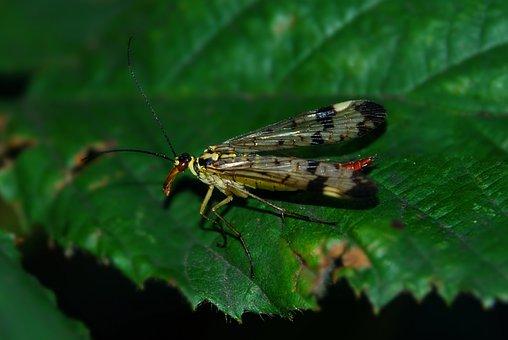 Scorpion Fly, Mecoptera, Insect, Macro, Proboscis
