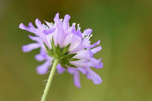 Field Scabious, Field-widow Flower, Knautia