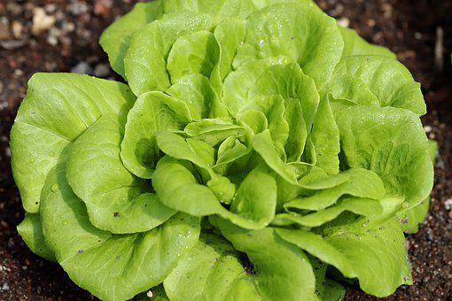 Salad, Green Salad, Food, Leaf Lettuce, Fresh, Bio