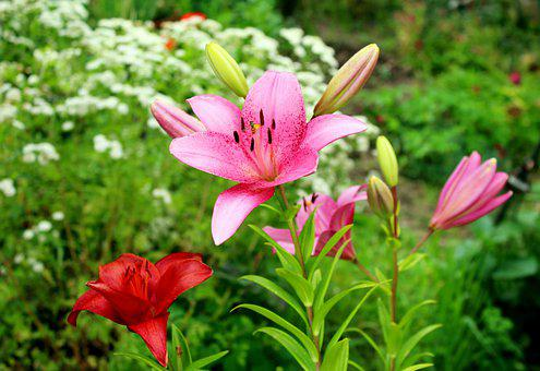 Lilies, Flowers, Garden, Summer, Colorful, Figure