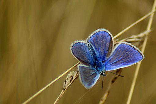 Heuchel Blue, Common Blue, Butterfly, Meadow, Nature