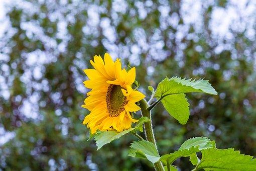 Sunflower, Flower, Summer, Yellow, Bloom, Flora, Nature