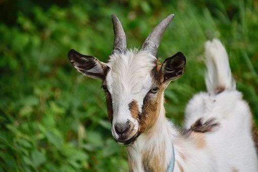 Goat, Goat Pépito, Horn, Herbivore, Nature