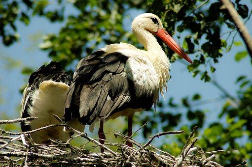 Stork, Alsace, Nest, Bird, Plumage, Animal, Nature