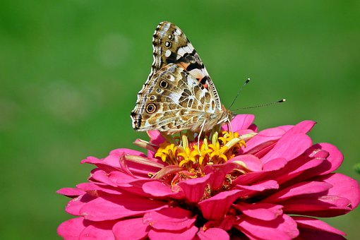 Butterfly, Insect, Zinnia, Flower, Pink, Nature, Macro