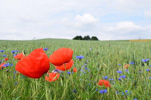 Poppy, Nature, Field, Summer Red, Green