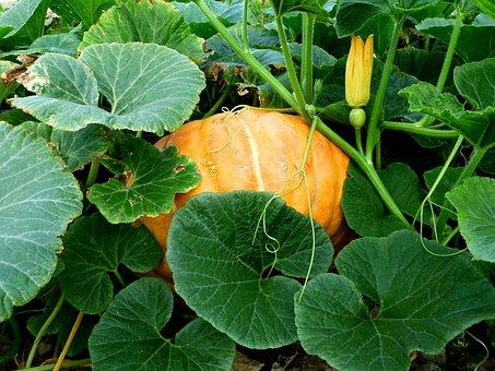 Vegetables, Garden, Pumpkin, Green, Food, Bio, Plants